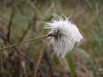 Cotton Grass Girley